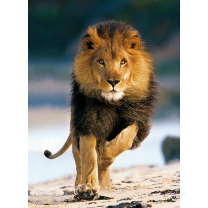 Lion running (39104)