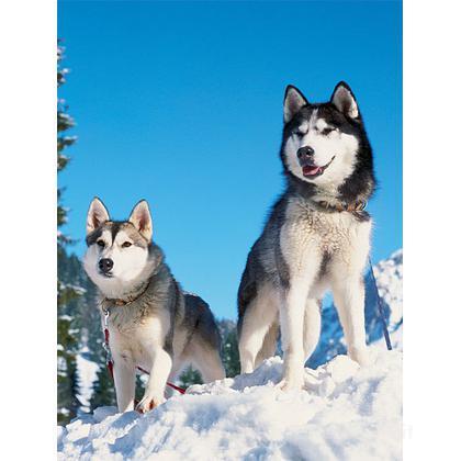 Husky nella neve