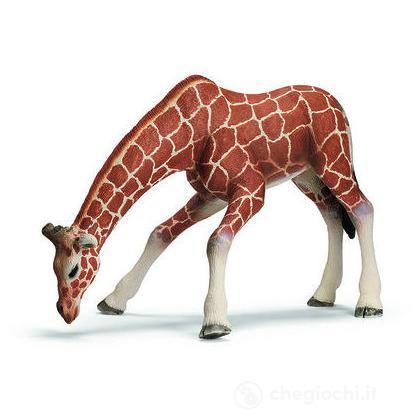 Giraffa femmina che beve (14390)