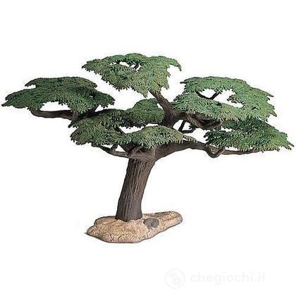 Acacia a ombrello (30654)