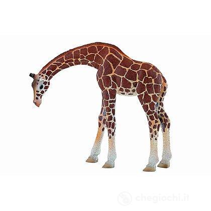 Giraffa (63668)