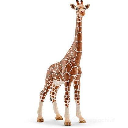 Femmina di Giraffa (14750)
