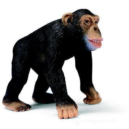 Scimpanzé maschio (14189)