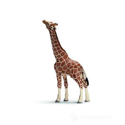 Giraffa maschio che mangia (14389)